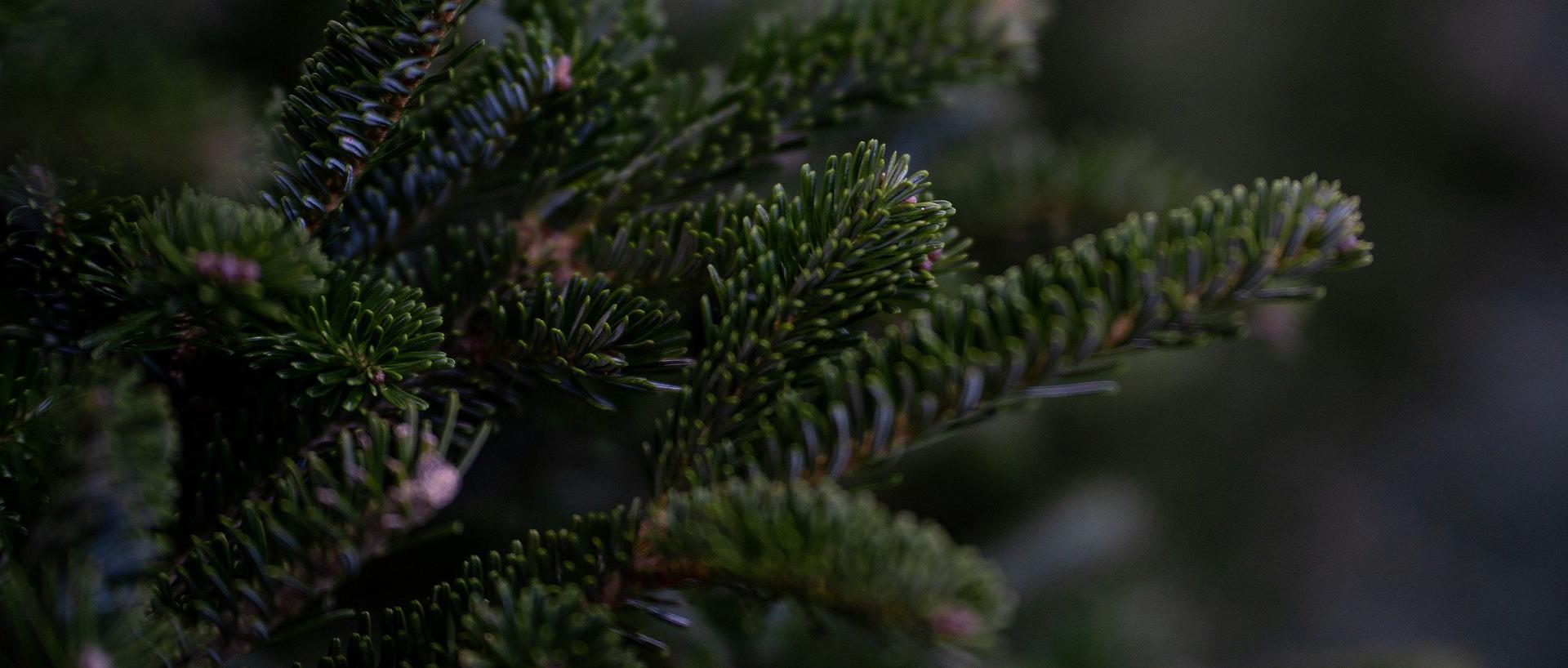 Pfadfinder sammeln Christbäume ein
